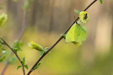 Common brimstone, Gonepteryx rhamni feeding on willow