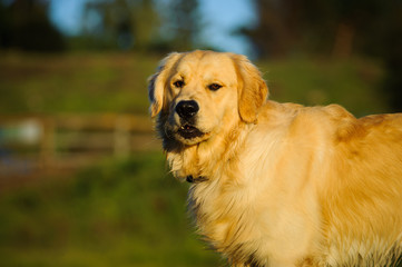 Golden Retriever dog standing in country field with gated driveway