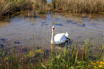 Swan in the nature reserve of the Isonzo river