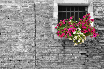 Black and white of old brick wall in Italy with selective focus on petunia flowers in the window
