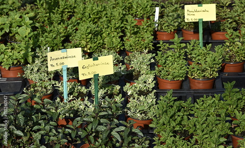 Plantes aromatiques stock photo and royalty free images on pic 110260147 - Plantes aromatiques cuisine ...