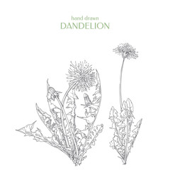 Vector Taraxacum officinale. Hand drawn dandelion.