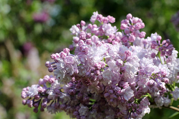 Spring floral background/Spring bush lush blossoming lilac in the park