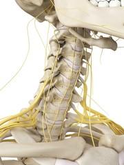 Neck bones and nerves, artwork