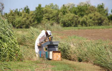 harvesting honey and many hives with bees in the field