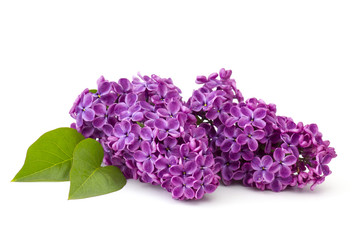 Blooming lilac flowers