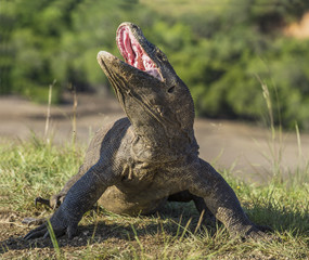Komodo dragon raised the head and opened a mouth. The Komodo dragon ( Varanus komodoensis ) is the biggest living lizard in the world.