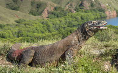 Portrait of the Komodo dragon ( Varanus komodoensis ) is the biggest living lizard in the world.