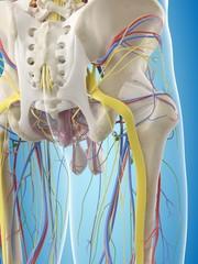 Human pelvis anatomy, illustration