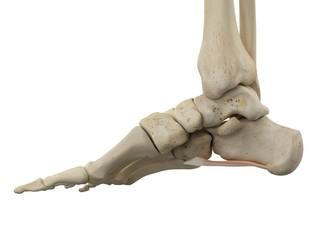 Human foot anatomy, illustration