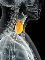 Human thyroid, illustration