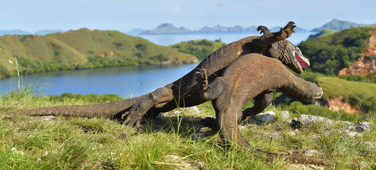 The fighting Komodo dragons for domination.