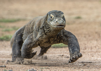 Attack of a Komodo dragon. The dragon running on sand. The Running Komodo dragon ( Varanus komodoensis ) .