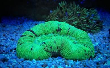 Green open brain coral