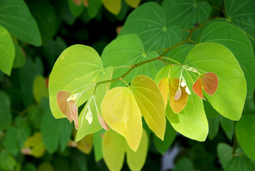 Colorful leaves texture ,ficus religiosa beautiful