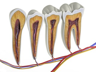 Teeth, cross section, artwork