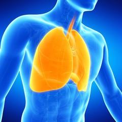 Lungs, illustration