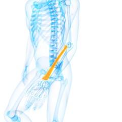 Human radius bone, illustration