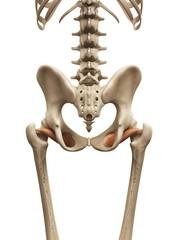 Human muscles, illustration