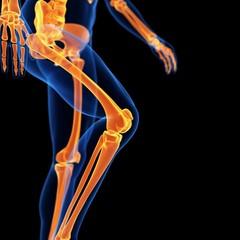 Leg bones, illustration