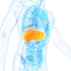 Liver, illustration