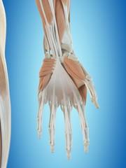 Human hand anatomy, artwork