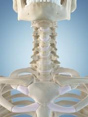 Human neck bones, artwork