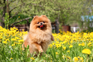 Pomeranian dog in dandelion blowing. Cute, beautiful dog