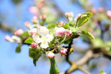 Blossom apple over nature background. Spring blossom background. Blossom tree. Summer print. Spring print.