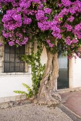 Old bougainvillea tree