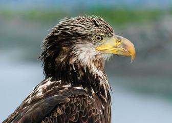 Juvenile Bald Eagle, Homer, Alaska