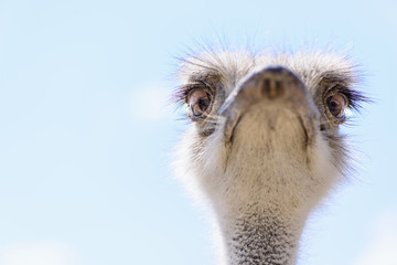 Ostrich head closeup