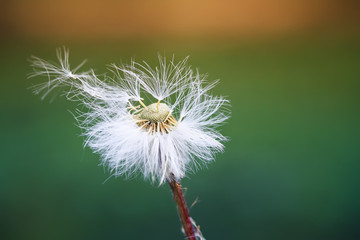 Photo sur Plexiglas Pissenlit white fluffy dandelion scatters seeds parachutes