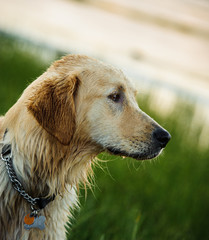 Golden Retriever dog at lake with green reeds