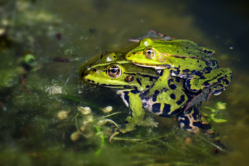 green frogs during mating in the pond, male sitting on the femal