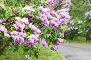 Blooming pink lilac bushes