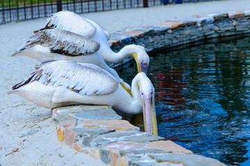 exotic birds white pelicans