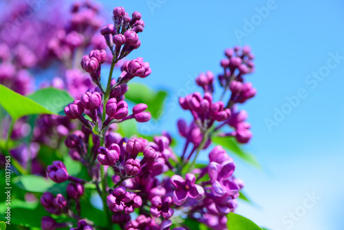 Lilac Flowers In Spring Stock Photo And Royalty Free Images On