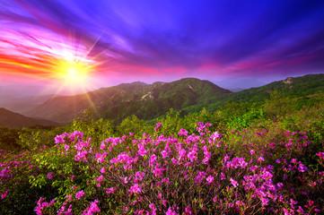 Wall Mural - Beautiful pink flowers on mountains at sunset, Hwangmaesan mountain in South Korea.
