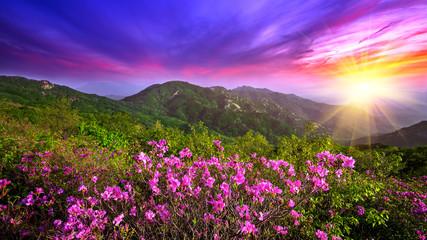 Wall Mural - Beautiful pink flowers on mountains at sunset, Hwangmaesan mount
