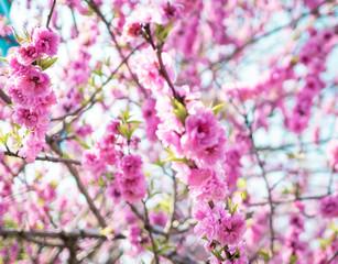 Pink Sakura Texture Soft Focus