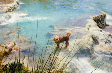 Dog swimming in Thermal springs Saturnia, Tuskany, Italy