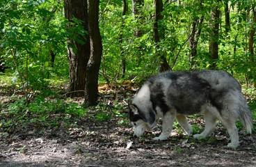 Husky in the woods