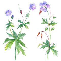 watercolor illustration with geranium isolated