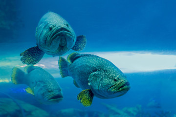 Grouper Photos Royalty Free Images Graphics Vectors Videos