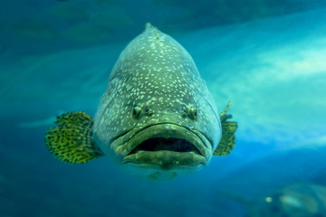Giant grouper or Queensland grouper in tank.