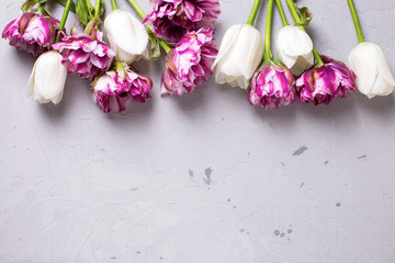 Bright  violet and white tulips flowers on grey textured backgro