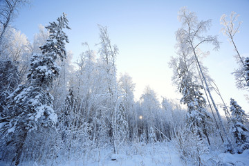 winter cold day fir forest landscape