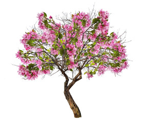 isolated apple tree with large pink blooms