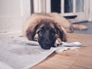 Leonberger puppy with head on dirty training pad